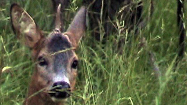 Single horned deer Single horned roe deer.